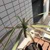 観葉植物「ドラセナ・コンシンネ レインボー」 2代目も復活を期す