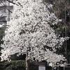 コブシ,マグノリア属,Kobushi magnolia