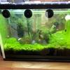 水槽に湧いた藻を解消するために、ミナミヌマエビを追加投入します。