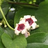 ヘクソカズラ(屁糞葛)の花と実と