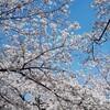 東京散歩 靖国神社で「桜」の観賞と表参道の「フライングタイガー」