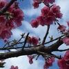 沖縄 八重岳桜祭り&ホテルゆがふいんおきなわでランチブッフェ♡