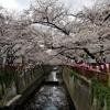 今が見ごろ!目黒川の桜!