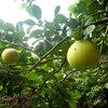 ポメロは当たり外れがある果物