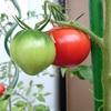 トマトの初収穫とキュウリとのお別れ