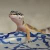 レオパゲルって知ってる?爬虫類に使えるオススメ人工飼料を紹介!アガマやイグアナにも使えちゃうよ