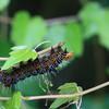 トビイロトラガの幼虫
