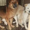 韓国から「食用」のイヌを救助 里親さがしよりもトラウマ克服が課題