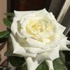 秋バラ ヨハネパウロ2世がキレイに咲いたよ(^o^)
