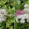 """シモツケ 枕草子で褒められている花.その割に,話題になることは少ない---私は大好きな花です.去年・一昨年とシモツケマルハバチの幼虫に荒らされて,まともな姿は三年ぶりの""""源平"""".白い花はホザキナナカマドと似ています.6月上旬.我が家の庭の主役は,小さい花を精いっぱい沢山咲かせている植物たち.ナンテン,ホウライムラサキ,ユーフォルビア,アジサイ,ヤマアジサイ---"""