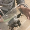8月下旬でもカブトムシの採集可能です(*´▽`*)
