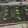 菜園にハクサイ・サニーレタス・チシャを植えました