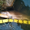 【鯉釣り百匹】(6)釣果記録(25匹目~41匹目)