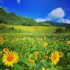 【菜の花・ひまわり畑】一面の黄色い絨毯。絶景で有名お花畑を来年は見に行こう。福島県喜多方市 三ノ倉高原花畑の見頃・撮影地ランキング