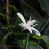 アラビアコーヒーの花 Coffea arabica