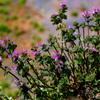 手賀沼遊歩道脇に咲く嫋やかなホトケノザ