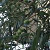 オリーブ葉とノニジュース