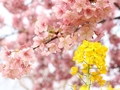 夜桜も楽しめる松田町(西平畑公園)の河津桜