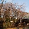 妙見坂下のしだれ桜と、妙見堂の「樹老人」