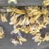 ミツバチの季節