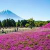 春の訪れ『芝桜』