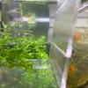ネオンタキシードグッピーの稚魚を発見