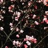 リトアニアと桜