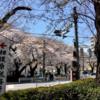 さくら通り税務署入口交差点では、ほぼ満開です!(3月23日11時頃)