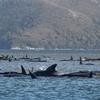 座礁クジラ470頭、オーストラリア★ 気温☆