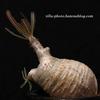 【Pachypodium rosulatum var. gracilius】