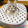 腸内フローラ検査「けんかつくん」:メインクーン猫シルルのもふもふ