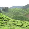 【マレーシアの避暑地】紅茶の名産地キャメロンハイランド(イポーから1時間)