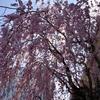 忙しい日々に、忙しい桜の開花