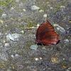 紫の玄光 - ルリモンジャノメ- 冬ごもり2