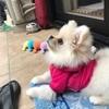 ポメラニアン×ペキニーズ 愛犬について
