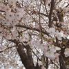 桜流し。花散らしの雨ってちょっと艶っぽいなぁ。