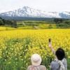 残雪の鳥海山を背に黄色いじゅうたん…秋田