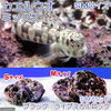 (海水魚)ブラックライブスカルロックSMセット + カエルウオミックスSMサイズ(1セット) 北海道・九州・沖縄航空便要保温