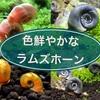 色鮮やかなラムズホーンの種類を紹介!宝石の様に美しい苔取り貝