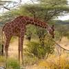 野生のキリンはライオンを監視する!ケニア サンブル保護区ゲームドライブ