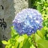 神社の紫陽花*その2