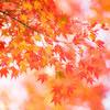 【2017/11/24 箱根紅葉情報】箱根 強羅公園を散策しました。