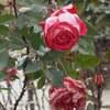 冬のバラ、あらいぐま、わらびー、カンガルー、ワオきつねザル、アメリカばいそん、ラーテル、