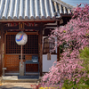 京都・西陣 - 祐正寺の枝垂れ梅