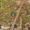 カワセミの巣穴掘りとツバメ飛来