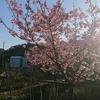 ピンクの桜が?