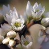 今日の誕生花「タンチョウソウ」姿全体が丹頂鶴に似てる花!
