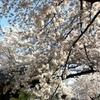 世田谷区の桜並木