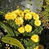 「文化の日」、野菊類が賑やかです。
