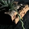 【Tillandsia loliacea】開花